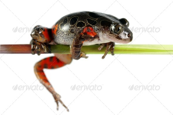 Tanzanian Tiger Leg Tree Frog - Stock Photo - Images