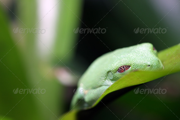Sleeping Frog - Stock Photo - Images