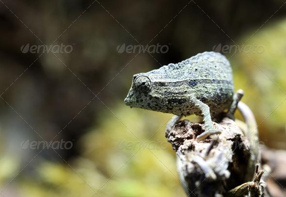 Pygmy Leaf Chameleon - Stock Photo - Images