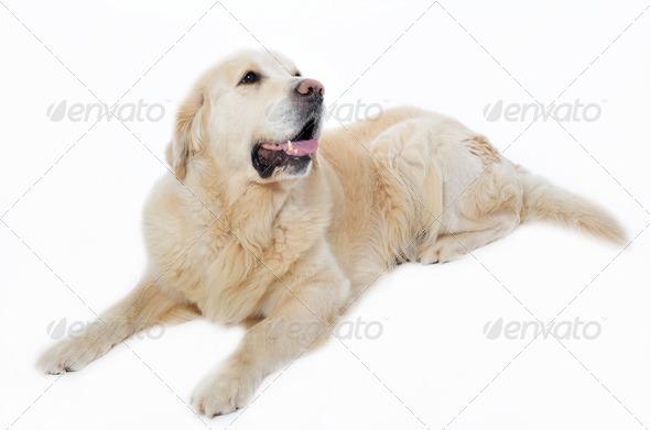 golden retriever - Stock Photo - Images