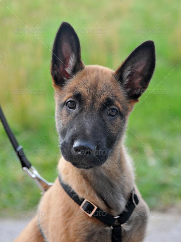 puppy malinois - Stock Photo - Images