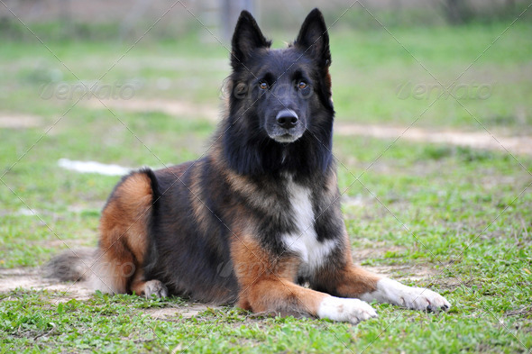 belgian shepherd tervueren - Stock Photo - Images