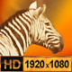 Group of Zebras on Safari Africa - VideoHive Item for Sale