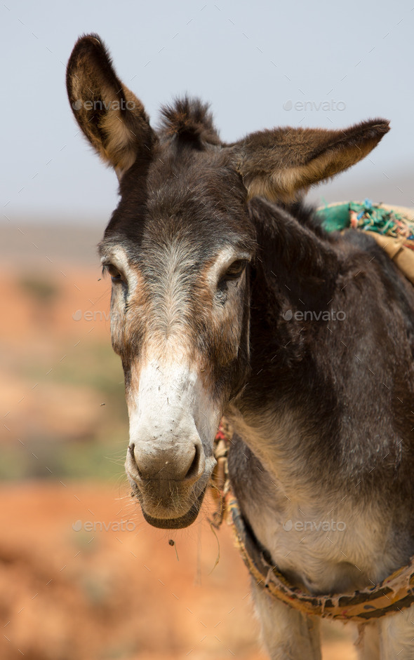 Portrait of Donkey in Morocco - Stock Photo - Images