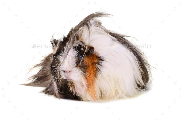 Big guinea pig - Stock Photo - Images