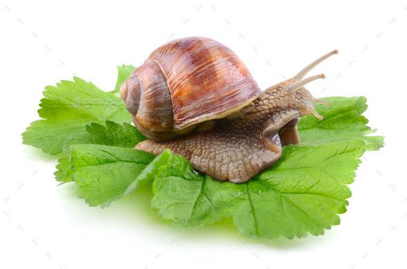 Big snail - Stock Photo - Images
