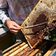 Beekeeper Working on Beehive with Honeycombs - VideoHive Item for Sale