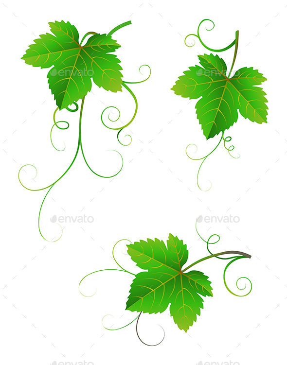 Grape Leaves - Nature Conceptual