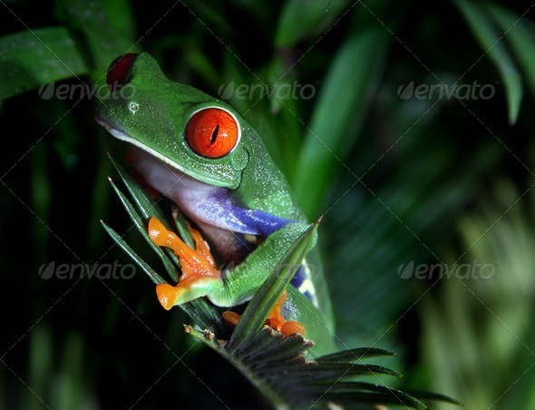 Red Eyed Tree Frog - Stock Photo - Images