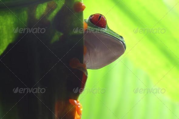 Peeking Frog - Stock Photo - Images