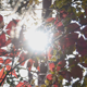 Autumn.Red Leaves. - VideoHive Item for Sale