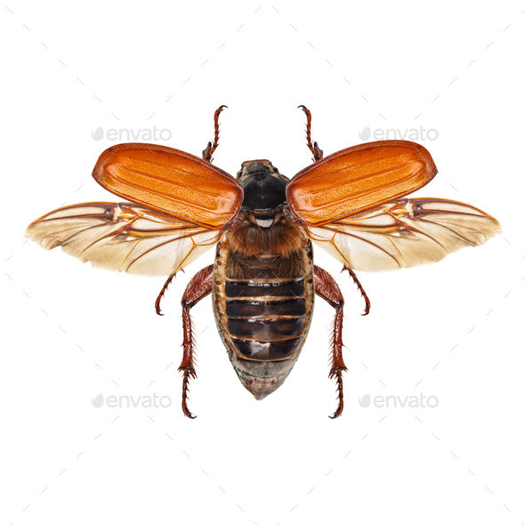 Cockchafer - Stock Photo - Images