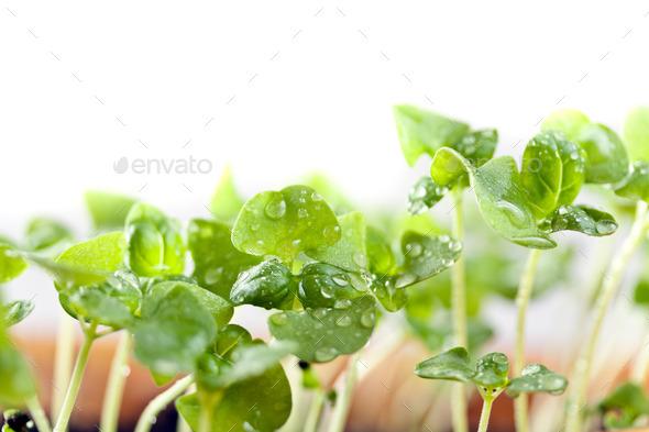 Basil seedlings - Stock Photo - Images