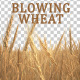 Blowing Wheat - VideoHive Item for Sale