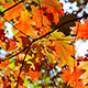 Orange Fall Leaves - VideoHive Item for Sale