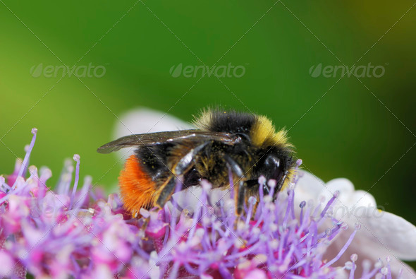 Bumble bee - Stock Photo - Images