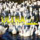 Ducks in River 8 - VideoHive Item for Sale