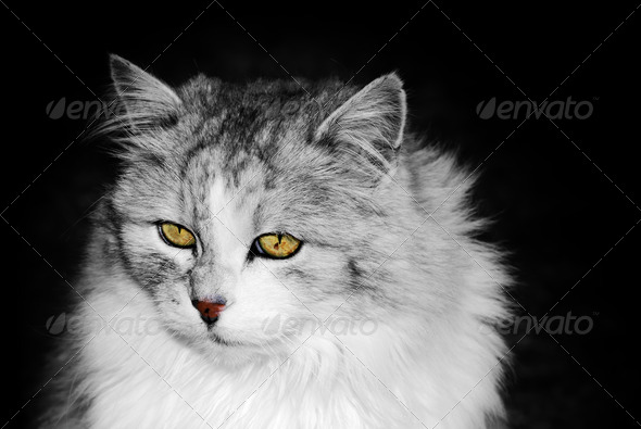Persian cat portrait - Stock Photo - Images