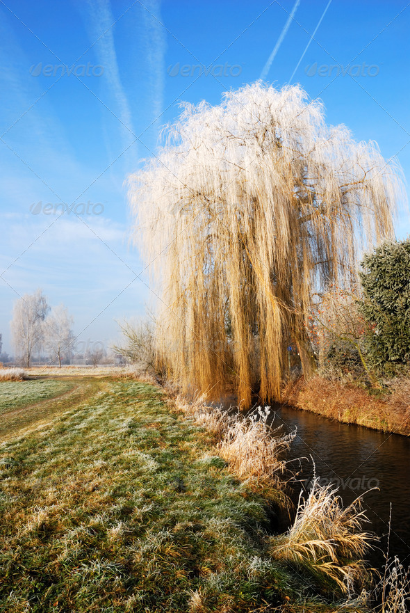 Wheeping willow - Stock Photo - Images