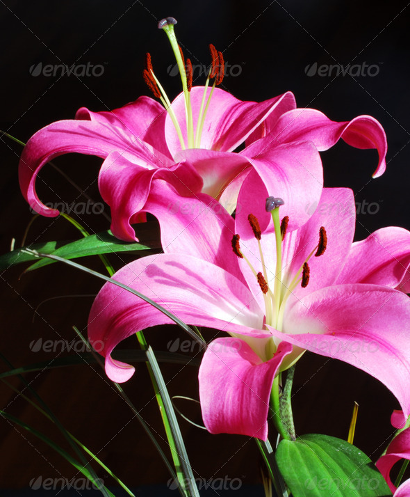 Lilies - Stock Photo - Images