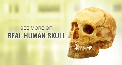 Genuine human skull