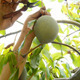 Collecting Mango Fruit in a Plantation