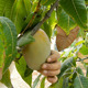 Worker Collecting Mango Fruit
