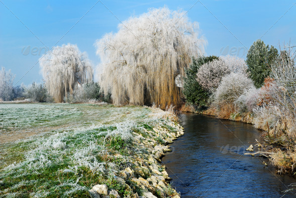 Weeping willow - Stock Photo - Images