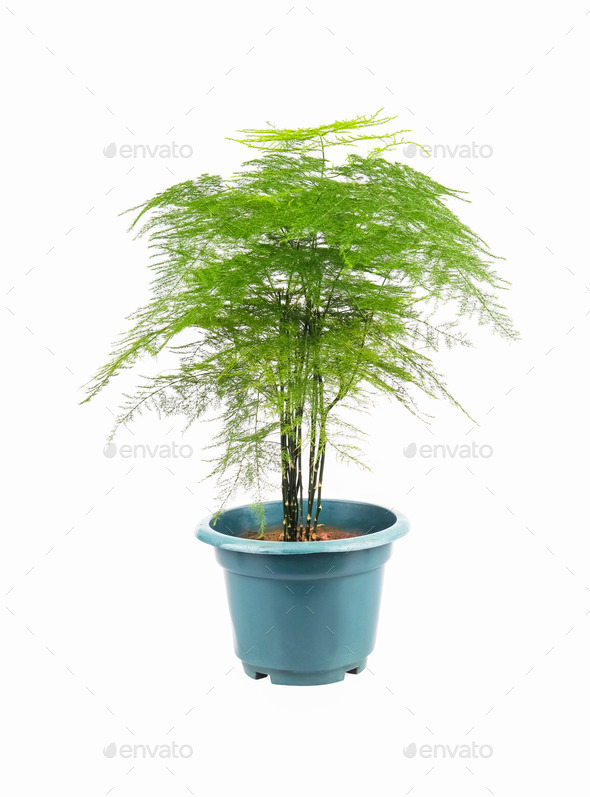 green asparagus fern - Stock Photo - Images
