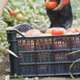 Harvest Helper Picking Up Fresh Tomatoes - VideoHive Item for Sale