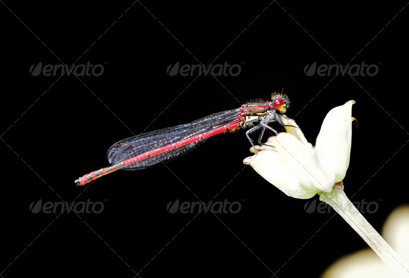 Red damselfly - Stock Photo - Images