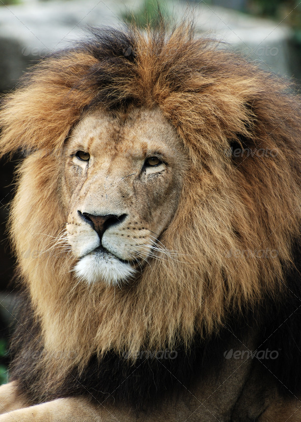 Lion - Stock Photo - Images