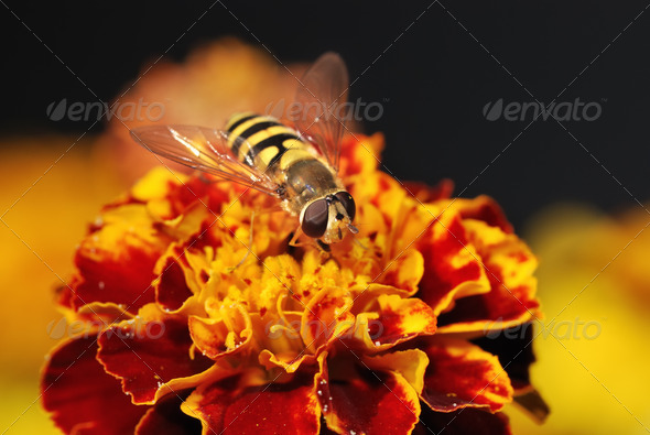 Hoverfly on a orange blossom - Stock Photo - Images