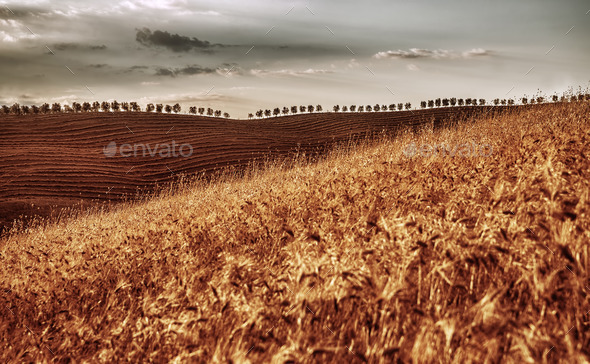 Golden dry wheat field - Stock Photo - Images