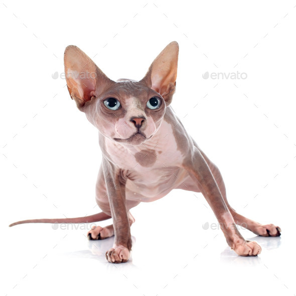 Sphynx Hairless Cat - Stock Photo - Images