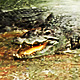 Crocodiles Life