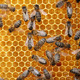 Honey Bees - VideoHive Item for Sale