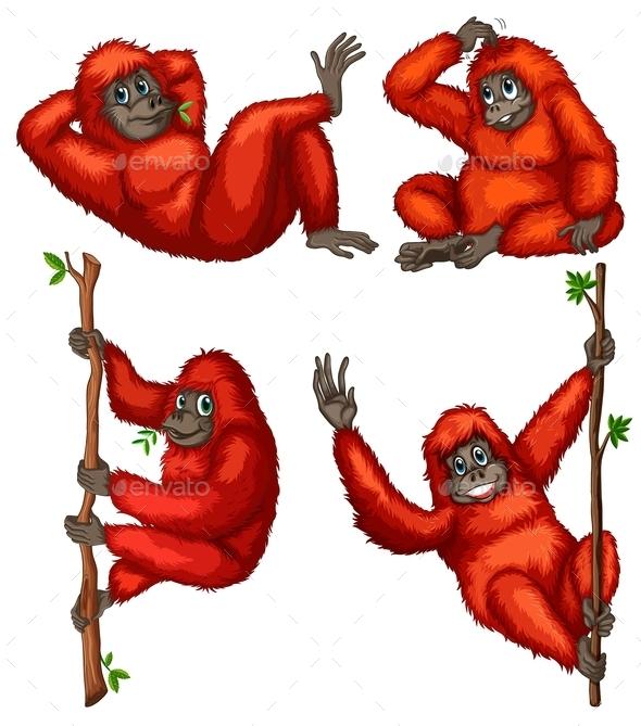 Orangutans - Animals Characters