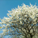 Cherry Blossoms Tree - VideoHive Item for Sale