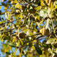 Green Acorns On A Tree - VideoHive Item for Sale