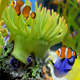 Clownfish Swimming Around - Long Footage - VideoHive Item for Sale