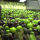Washing Olives - VideoHive Item for Sale