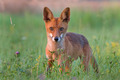 Red fox - PhotoDune Item for Sale