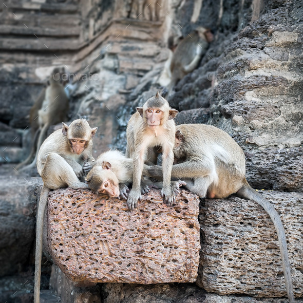Long tailed macaque monkeys relaxing in Thailand - Stock Photo - Images