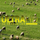 Flock of Sheep 3 - VideoHive Item for Sale