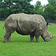 Rhino Walking Around in the Field - VideoHive Item for Sale