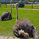 Ostrich Sitting on the Ground - VideoHive Item for Sale