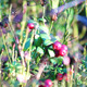 Cowberry Bush - VideoHive Item for Sale