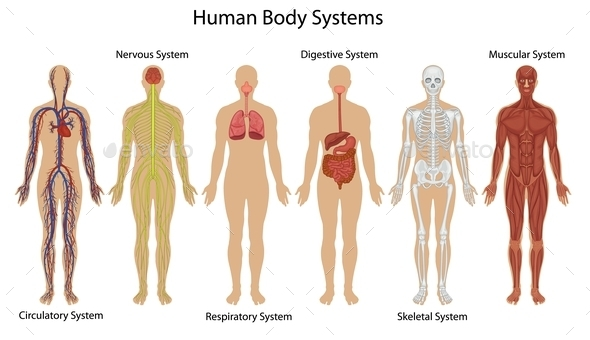 Human Body Systems - People Characters