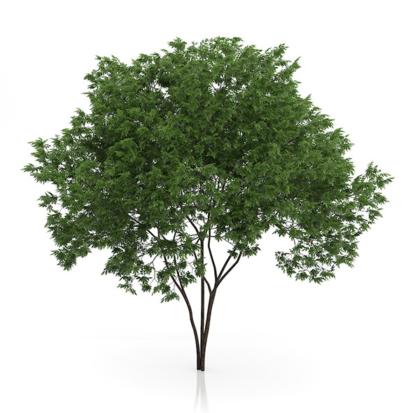 Elderberry Tree (Sambucus nigra) 3.7m - 3DOcean Item for Sale